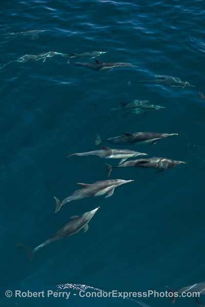 Dolphins at all depths in a blue ocean