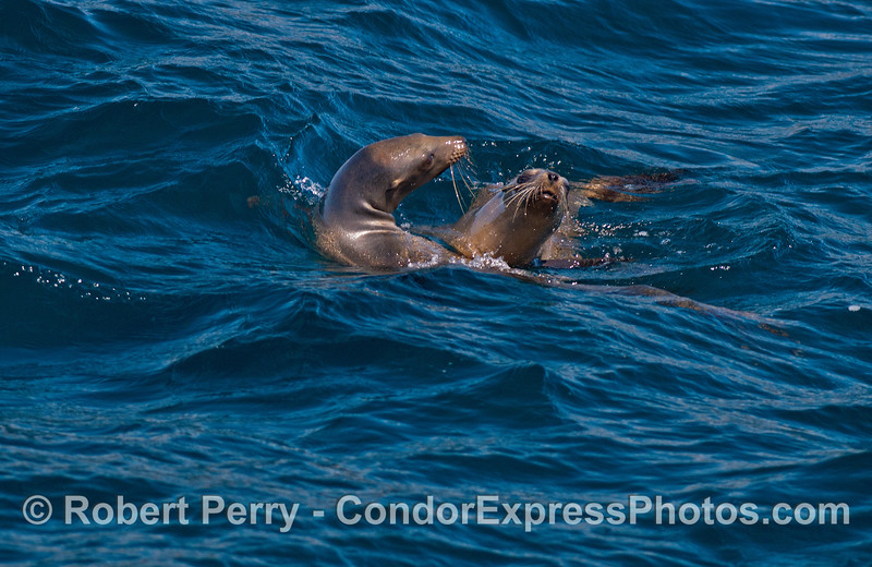 Image 1 of 2 in a row:  California sea lions socializing