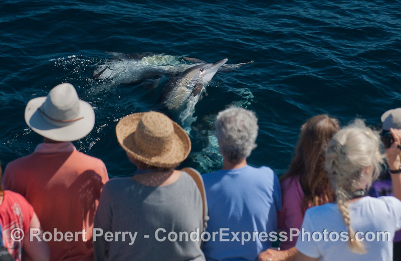 Curious long beaked common dolphins do some people-watching