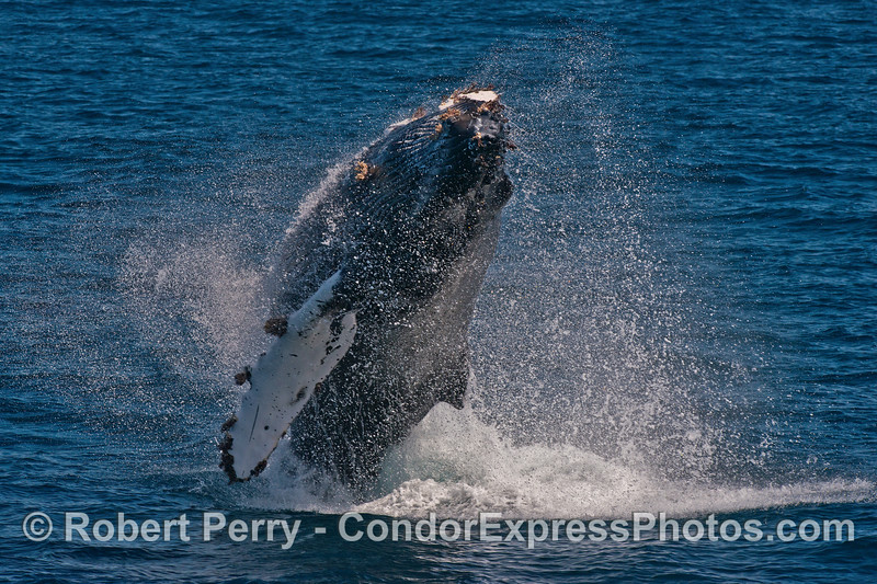 Image 1 of 3 in a row:   Another breach by the young humpback whale.