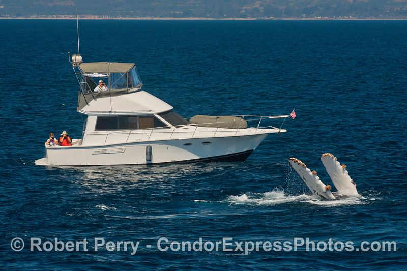 """A 34-foot yacht, the """"Five O'Clock"""" from Ventura, sees our humpback whale on its back with both white pectoral fins in the air."""