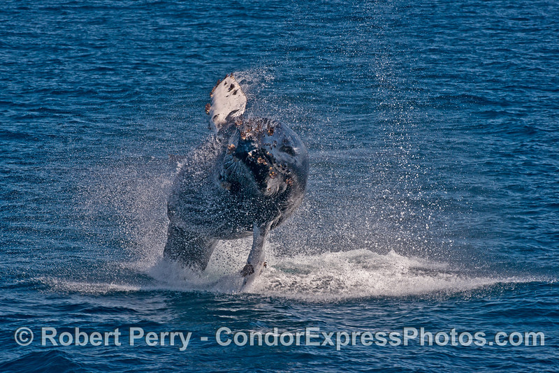 Image 2 of 3 in a row:   Another breach by the young humpback whale.
