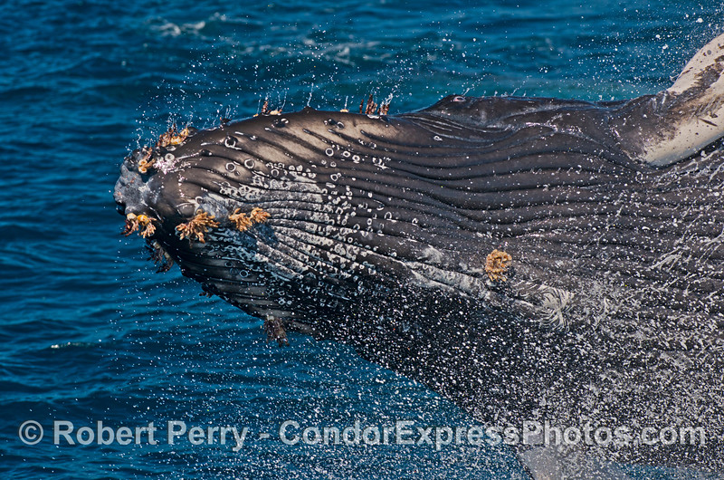"Image 1 of 2 in a row:  This young humpback whale breached so close to the boat that what you see here is all that would ""fit"" in my lens.  Look closely and you will see the eye wide open at the top."