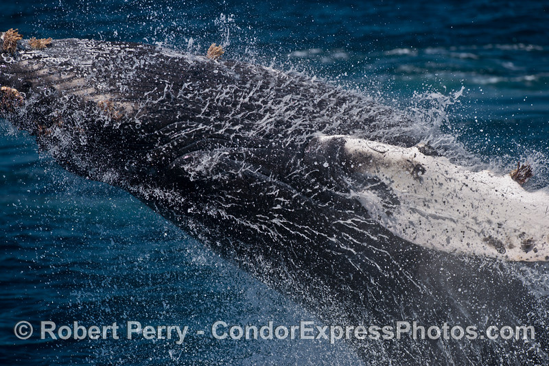 "Image 2 of 2 in a row:  This young humpback whale breached so close to the boat that what you see here is all that would ""fit"" in my lens."