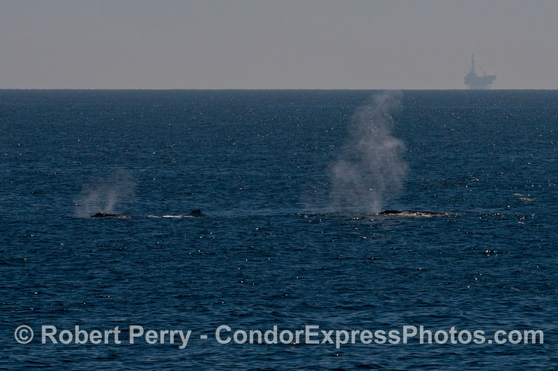 Three humpback whales and spouts