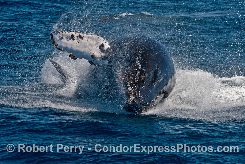 Image 3 of 3 in a row:   Another breach by the young humpback whale.