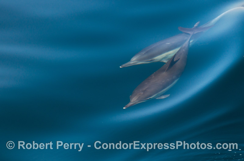 Two long beaked common dolphins ride a wave together in clear blue water