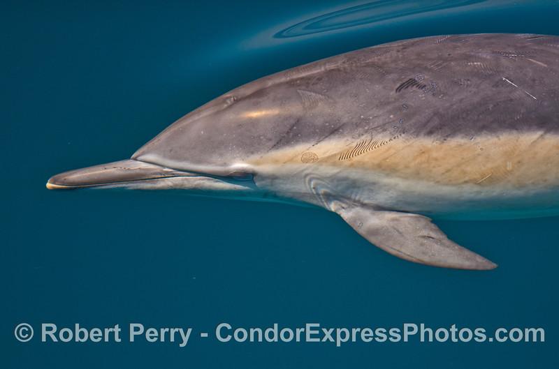 Delphinus capensis 2014 09-23 SB Channel-031