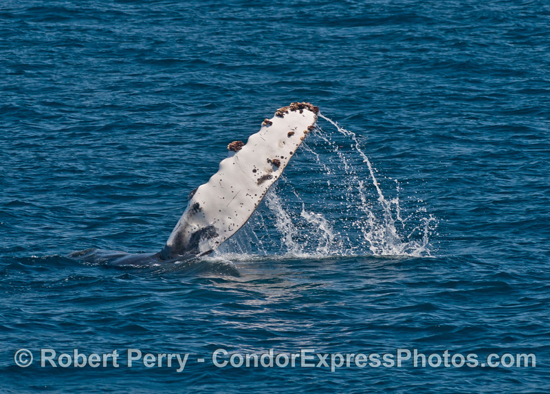 Humpback calf slaps the water with its white pectoral fins