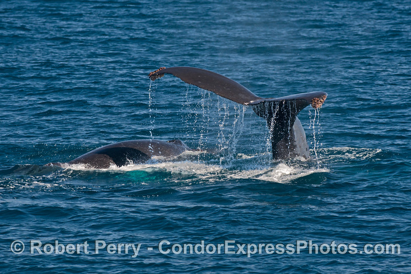 Mother (right) and her calf (left) humpback whales