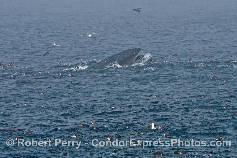 A surface lunge feeding humpback whale is surrounded by black vented shearwaters and western gulls
