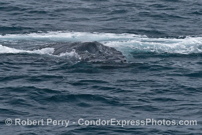 A humpback emerges after its giant bubble blast disperses on the ocean surface