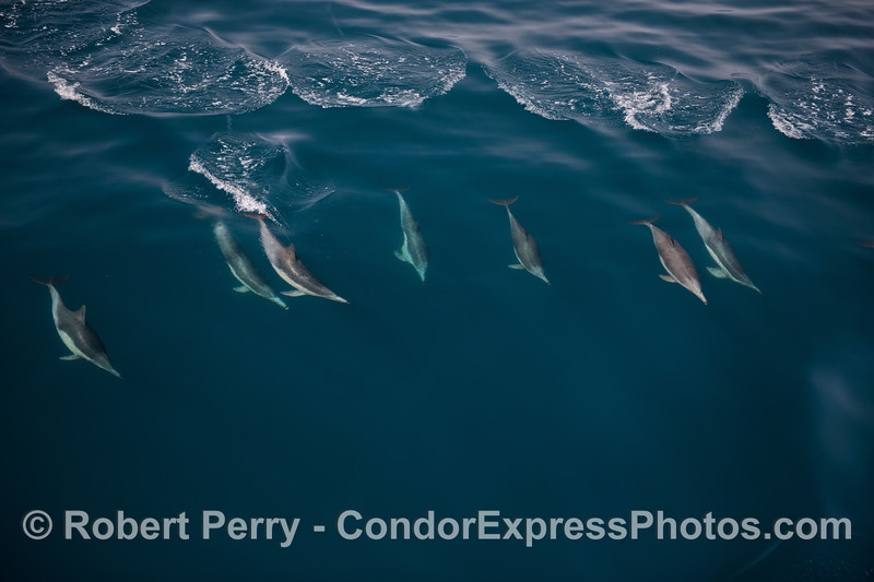 Seven long beaked common dolphins ride a big blue open ocean wave.