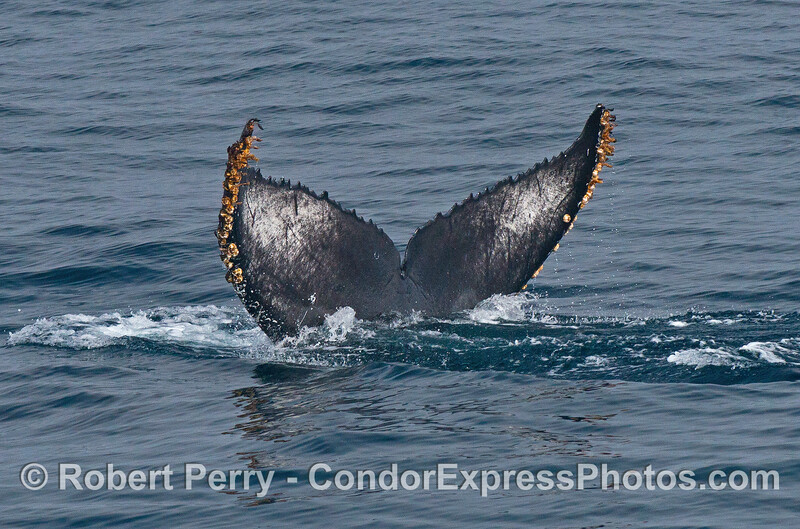 Humpback whale tail flukes with signature color and sculpture patterns