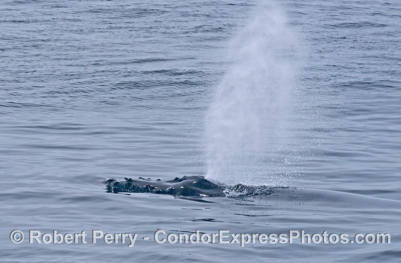 Spouting humpback whale
