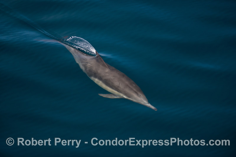 The dorsal fin of this long beaked common dolphin breaks the mirror glass surface