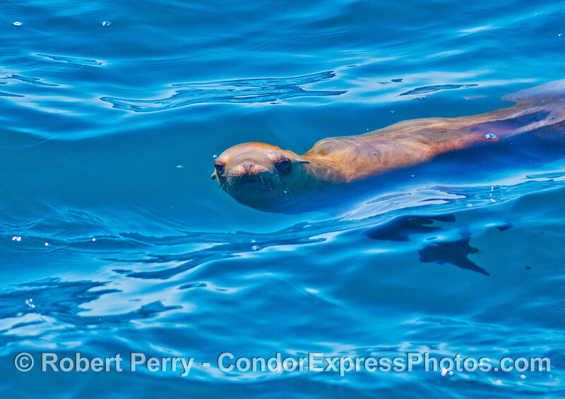 An inquisitive California sea lion looks at the camera from beneath the waves