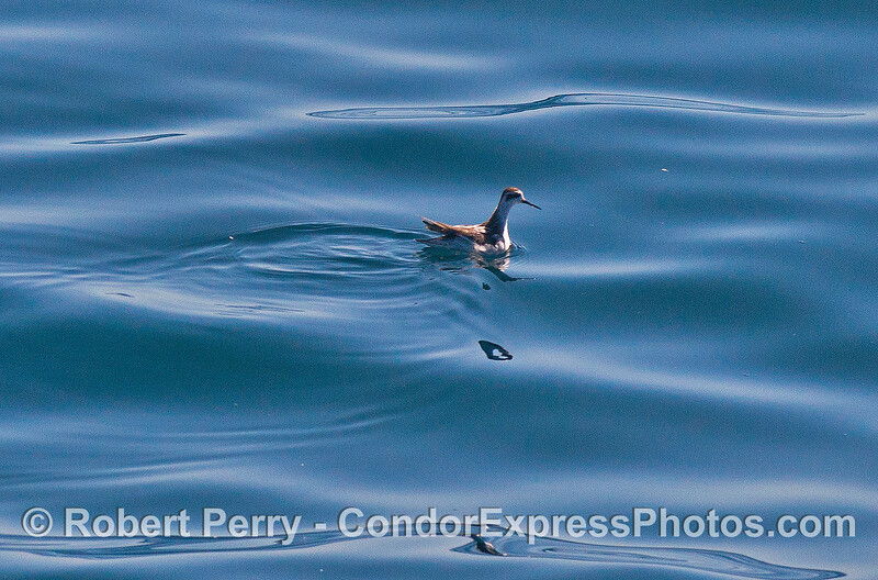 A tiny red-necked phalarope searches the ocean surface for nearly microscopic animals