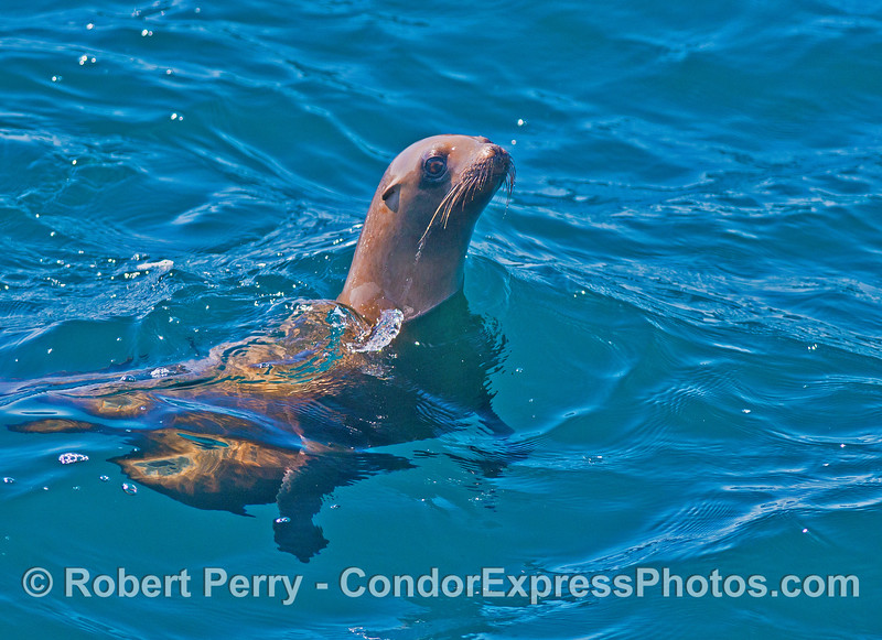 A California sea lion cranes its neck to look at its fans on the Condor Express