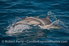 Image 2 of 2:  a mother long beaked common dolphin and her calf leap across the blue water