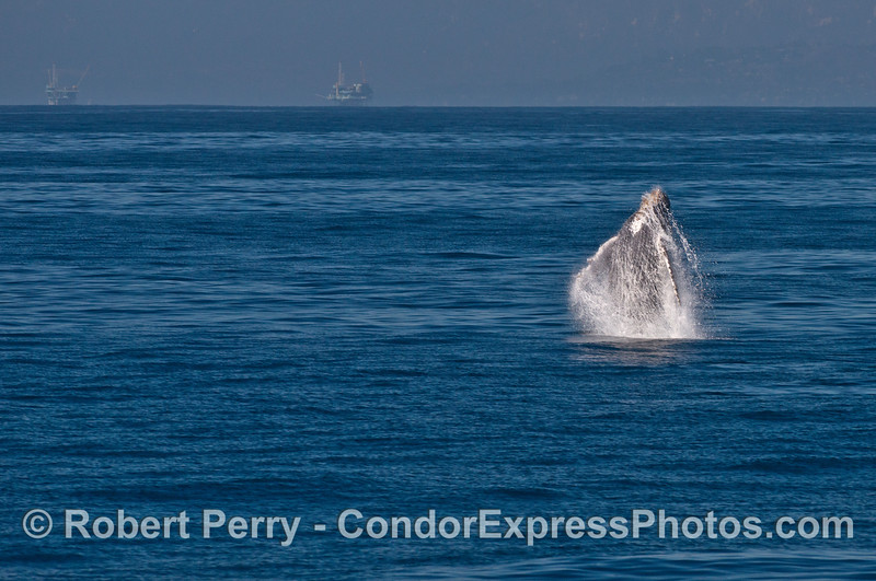 """Image 1 of 3 in row:  a juvenile humpback whale named """"Shorty"""" breaches"""