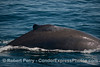 """An adult humpback with a rounded, thin dorsal fin that """"wiggled"""" as the animal swam through the water"""