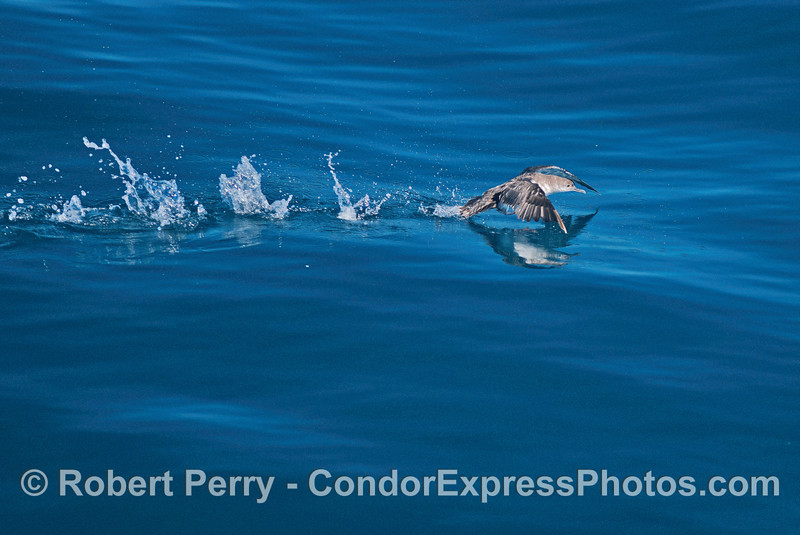 Black vented shearwater taking off