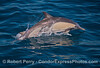 Image 1 of 2:  a mother long beaked common dolphin and her calf leap across the blue water