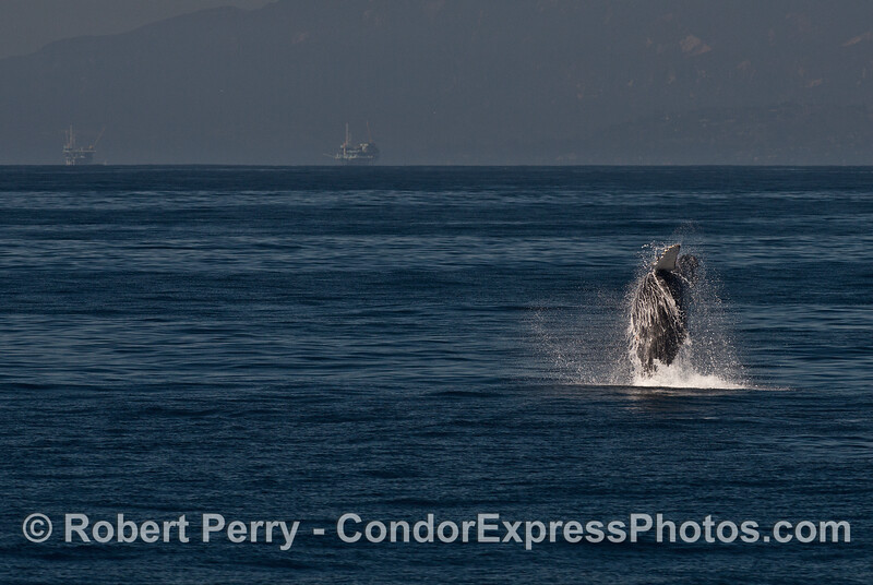 """Image 3 of 3 in row:  a juvenile humpback whale named """"Shorty"""" breaches"""