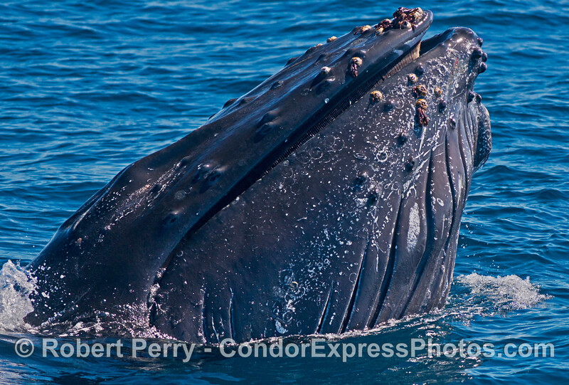 """Image 1 of 2:  An adult humpback whale named """"Lucky"""" spy hops and opens its mouth to show its baleen"""