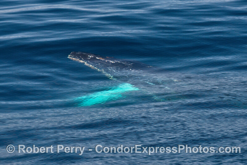 Image 1 of 2:  An underwater look at a humpback whale in clear water