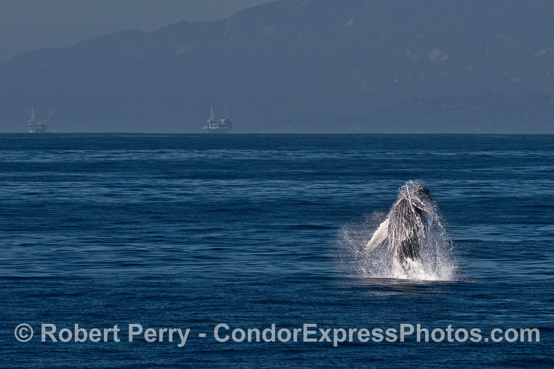 """Image 2 of 3 in row:  a juvenile humpback whale named """"Shorty"""" breaches"""