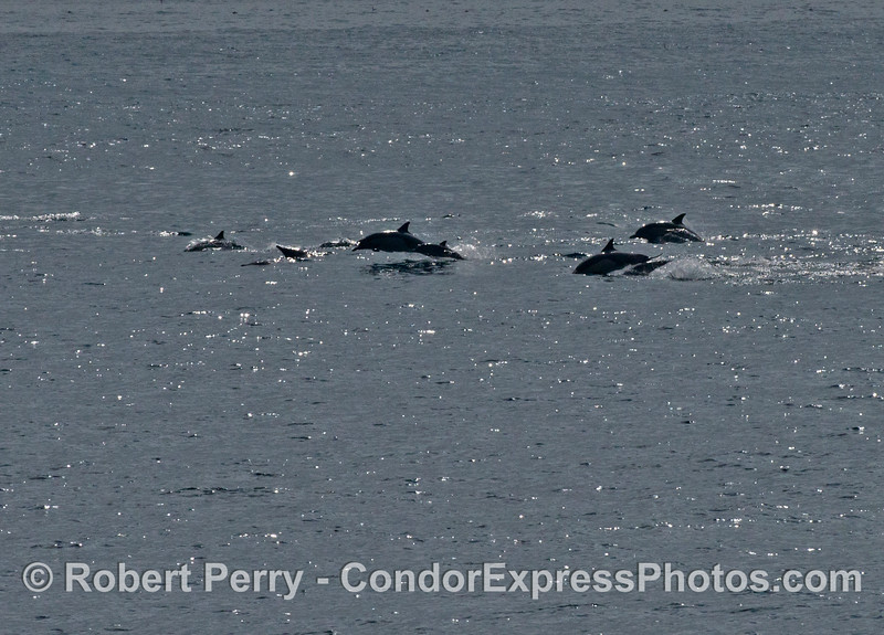 Common dolphins on the move !