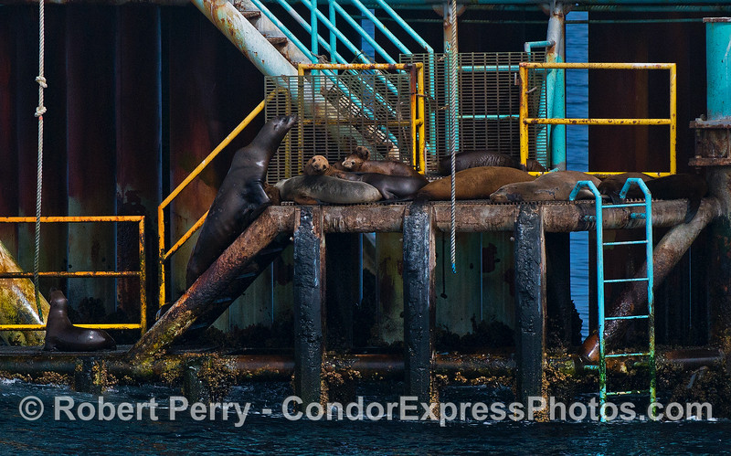 The stairs and landing area on Platform Henry are a favorite resting place for California sea lions.