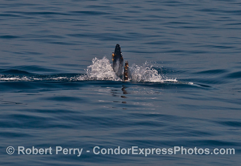 The last look at a humpback whale as it heads for the deep