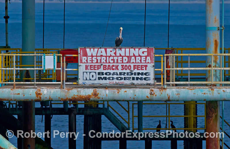 A brown pelican calls attention to a warning sign on Platform Henry