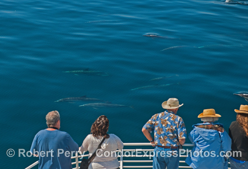 Common dolphins and their fans enjoy the mirror glass blue ocean