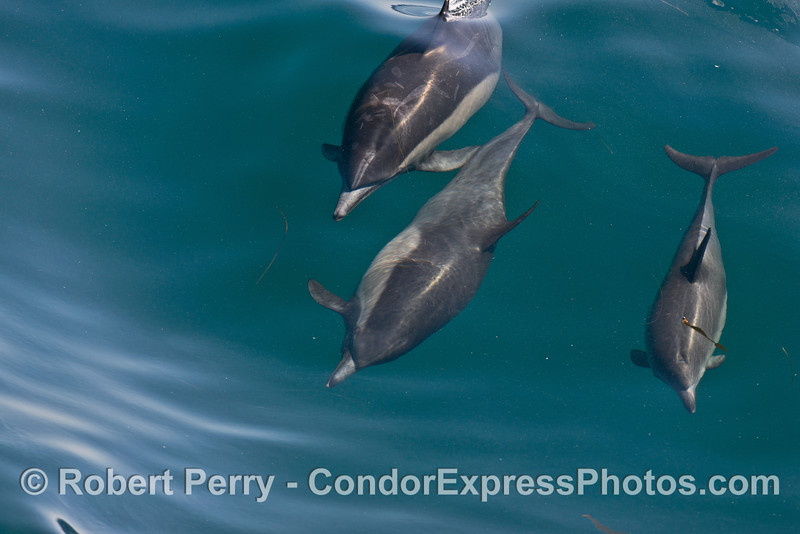 Image 1 of 8 in a row:  a long beaked common dolphin does a comlete 360 degree roll as it swims and surfs