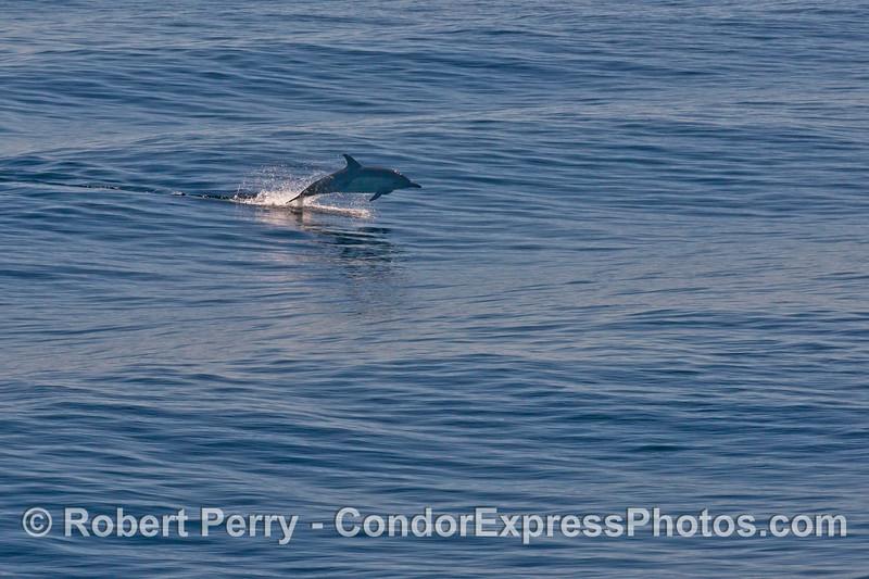 Long beaked common dolphin