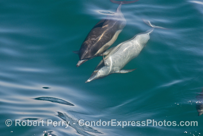 Image 6 of 8 in a row:  a long beaked common dolphin does a comlete 360 degree roll as it swims and surfs