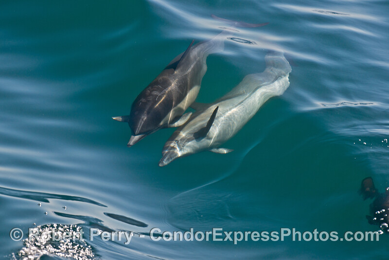Image 7 of 8 in a row:  a long beaked common dolphin does a comlete 360 degree roll as it swims and surfs