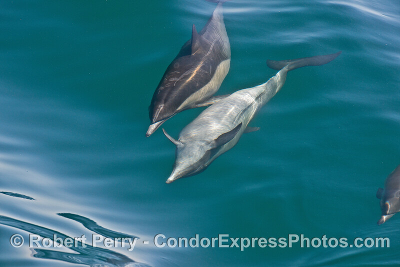 Image 5 of 8 in a row:  a long beaked common dolphin does a comlete 360 degree roll as it swims and surfs