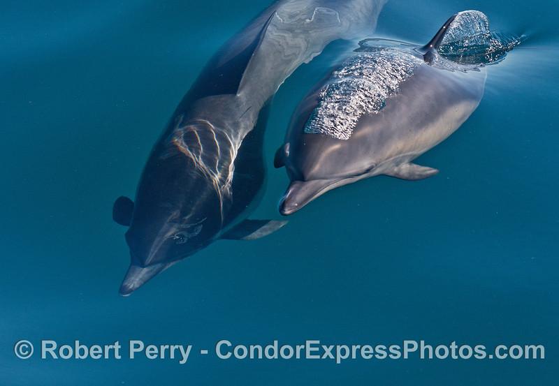 Delphinus capensis cow & calf 2014 10-02 SB Channel-021