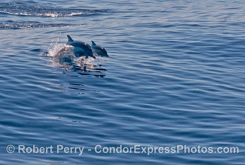 In the glare of the sun:  common dolphins leap across the swells