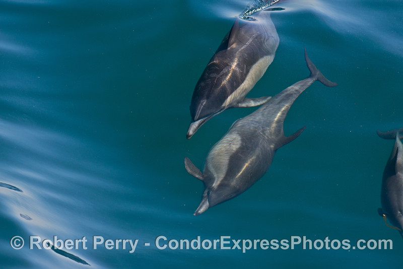 Image 2 of 8 in a row:  a long beaked common dolphin does a comlete 360 degree roll as it swims and surfs