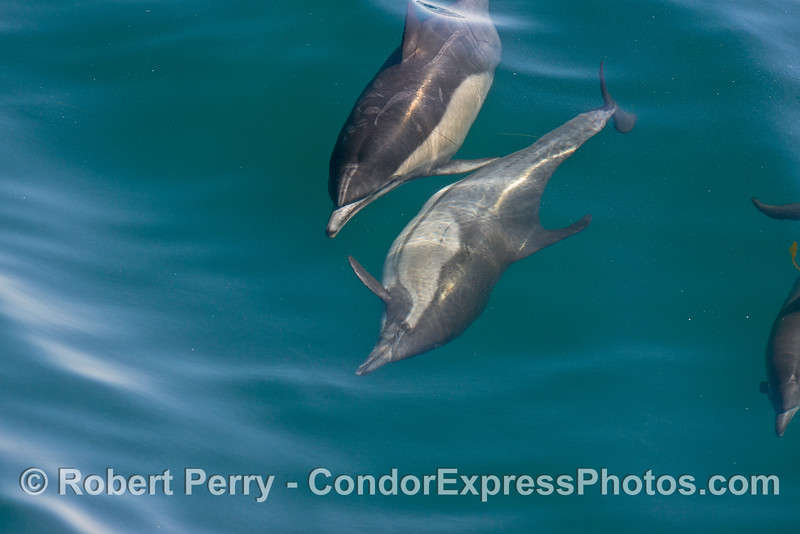 Image 3 of 8 in a row:  a long beaked common dolphin does a comlete 360 degree roll as it swims and surfs