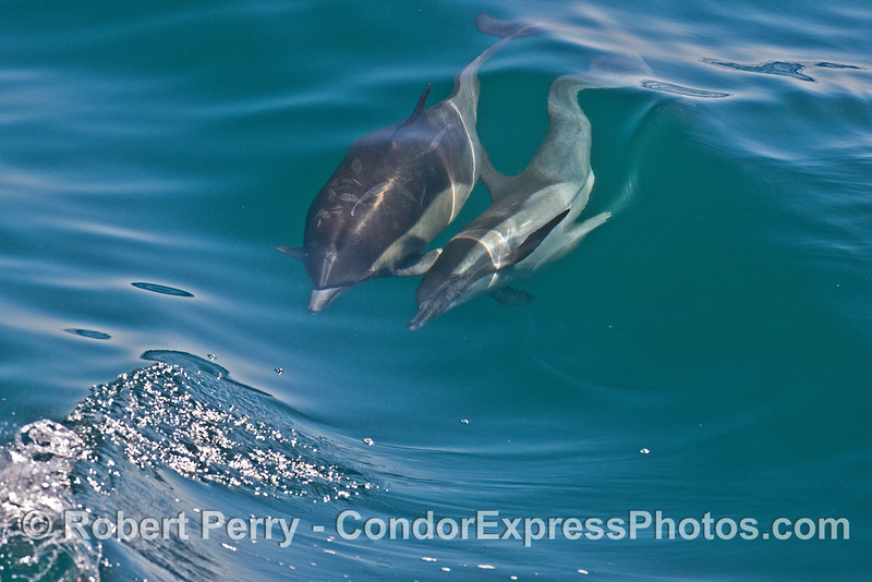 Image 8 of 8 in a row:  a long beaked common dolphin does a comlete 360 degree roll as it swims and surfs