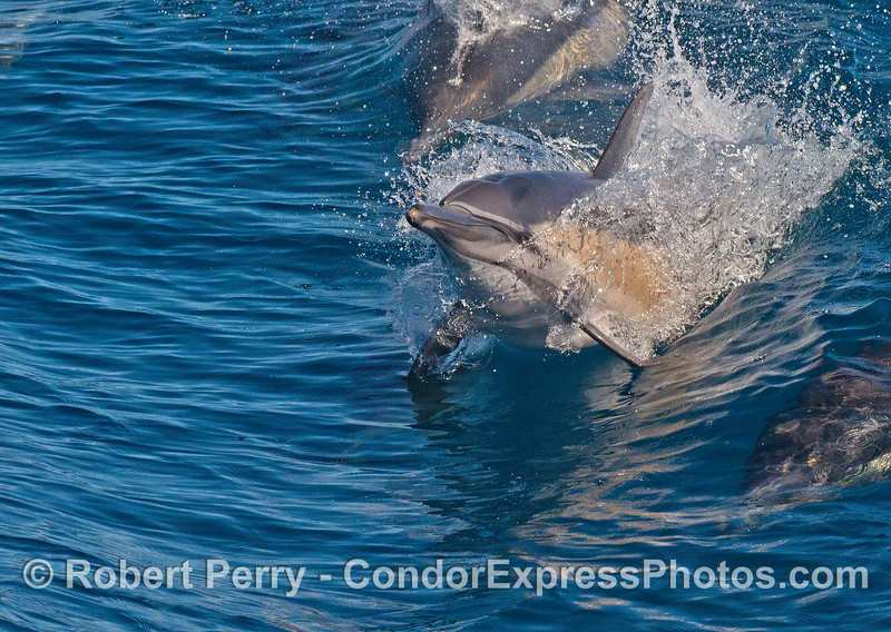 A long beaked common dolphin leaps the surface.