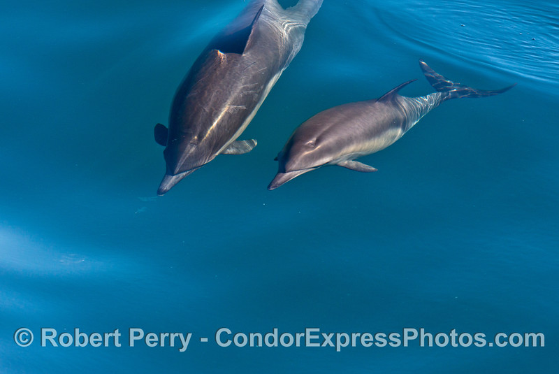 Two long beaked common dolphins
