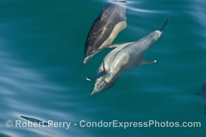 Image 4 of 8 in a row:  a long beaked common dolphin does a comlete 360 degree roll as it swims and surfs
